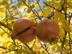 Pomegrante tree