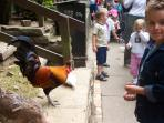 Feeding the chickens at the Heritage Centre