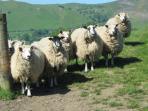 nosy Peak District sheep