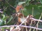 wild life at Llys Cadfan Red squirrel