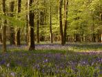 Bluebells at Hucklesbrook