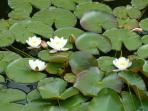 Lillies in the etang