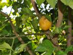 Lemon tree in back garden