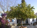 The famous lemon tree