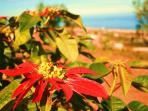 Canarian flower in the garden