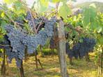 Succosi grappoli d'uva del nostro antico vigneto (veggia vigna in dialetto)