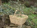 Un canestro delle preziose olive taggiasche