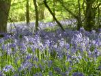 Bluebells on the farm