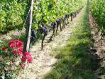 Grapes at a vineyard near Monbazillac