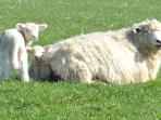 Lambing time - April and May