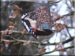 Woodpecker in the cottage garden