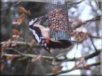 Woodpecker in the cottage garden