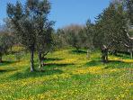L'oliveto in primavera
