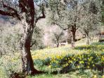 Daffodils among olive trees