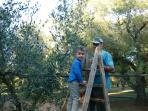 Raccolta olive