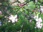 Manzano en flor-Primavera 2014