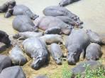 Hippos at the Masai Mara