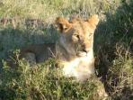 A lioness at the Masai Mara
