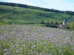vineyard opposite house, soil being renewed with flowers