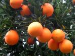 Unsere köstliche, Bio Orangen