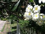 Frangipani-lined walkway to the beach.