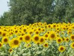 .......sunflowers in the fields nearby