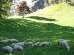 Sheep at the base of the Staubach Falls
