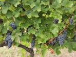 grapes in Castelfalfi