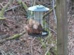 A young red squirrel squeezing in to get black sunflower seeds, outside Squirrel Cottage bedroom.
