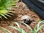 Visiting tortoise in the garden. Many birds, including sand-hill cranes and doves visit the feeders.