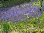 Bluebells - Spring time in Rectory Wood Church Stretton.  Snowdrops and then Daffodils in April.