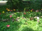 may 2011 -The tulips are out