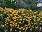 garden lantanas