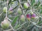 Local olives.