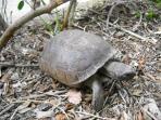 Permanent resident - Gopher turtle (endangered)