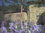 Irises in springtime