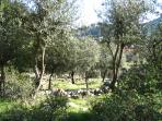 View through the olive groves to the apartment
