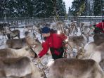 Feeding the reindeer at Sami's reindeer farm