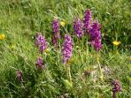 Wild orchids in Tansley Dale, a short walk from the cottage.