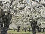 Cherry Blossom - Spring Vaqueria Cantaelgallo