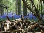 Bluebells in Blickling Woods