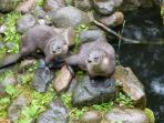 Otter family- another great photo taken by Phil again