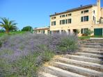We have lots of lavender by the steps to the pool
