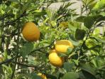 Pick your own fruit in our garden with lemons, olives and grapes
