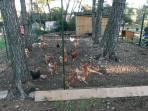 poules et lapin