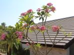 Beautiful Frangipanis at the front of the villa