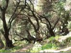 Olive grove in Corfu