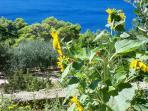 Beautiful sunflowers by the sea