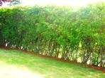 Back yard Hedges