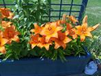 one of 3 troughs with beautiful lillies